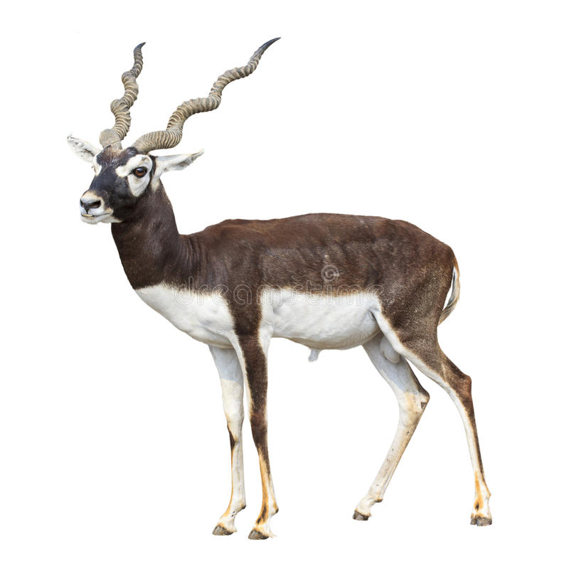 Free Black Buck Antelope Isolated Stock Photos - 30113893