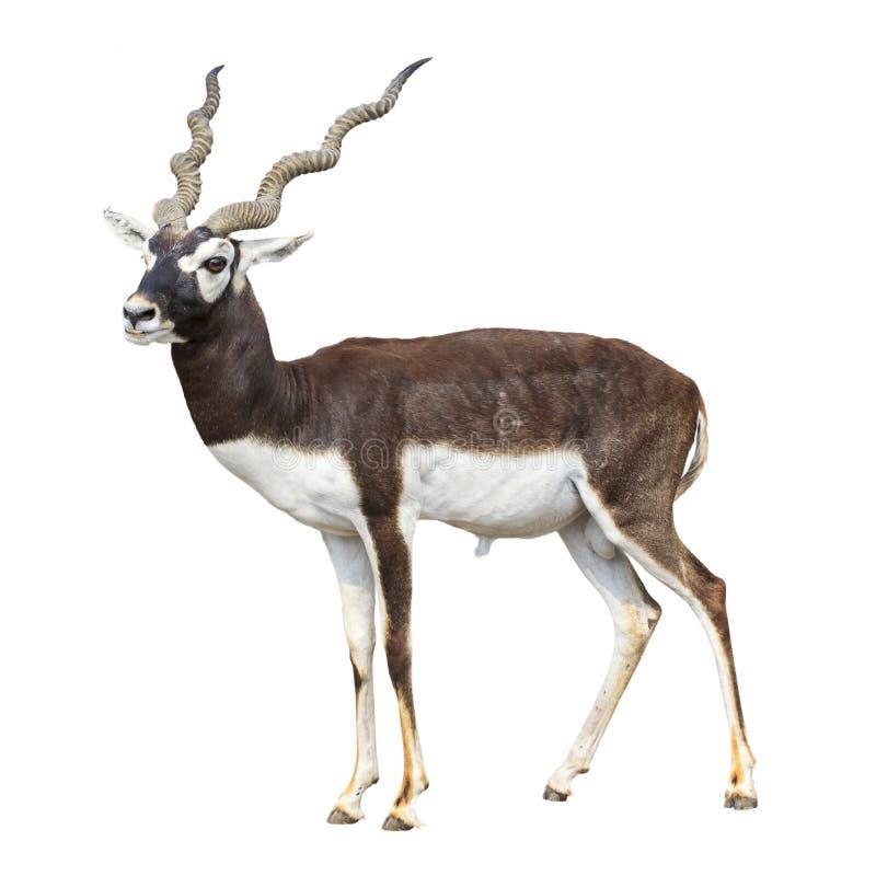Black buck antelope isolated stock photos
