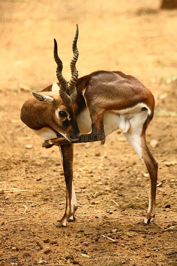 Free Black Buck Cleaning Itself Royalty Free Stock Image - 19028266