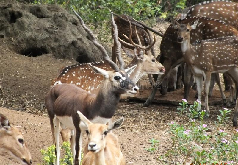 A Black buck in the herd if deers in Hyderabad zoo royalty free stock image