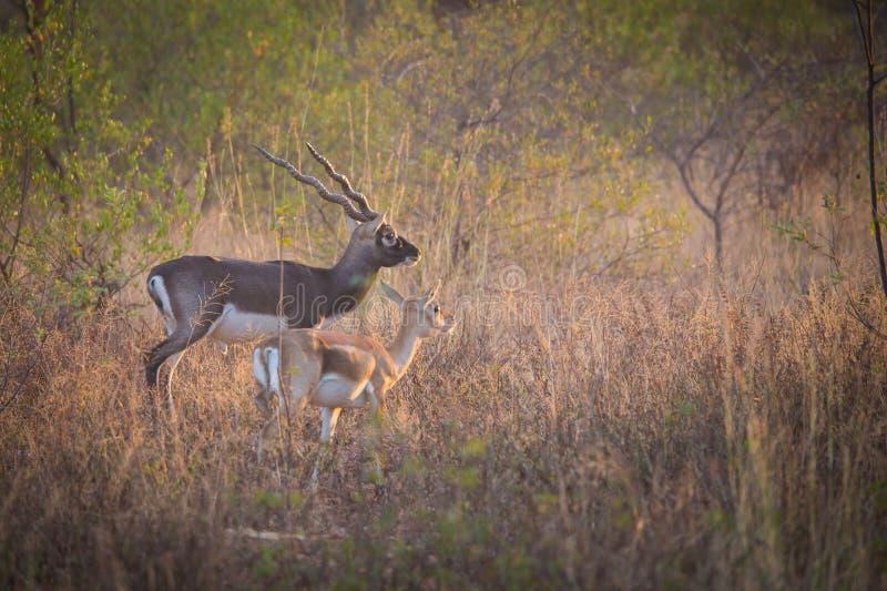 Black bucks in forest. India, deer, wildlife, animal, horns stock image