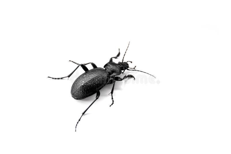 Black Bug closeup photo, isolated on white background, Macro Photography, Carabus stock images