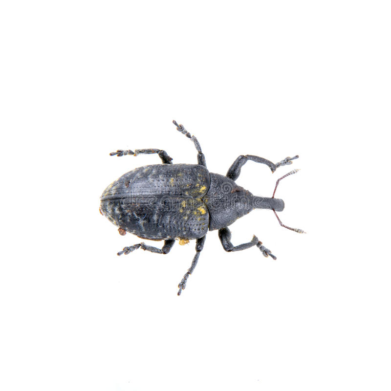 Free Black Bug With Yellow Dots On A White Background Royalty Free Stock Photo - 65150605