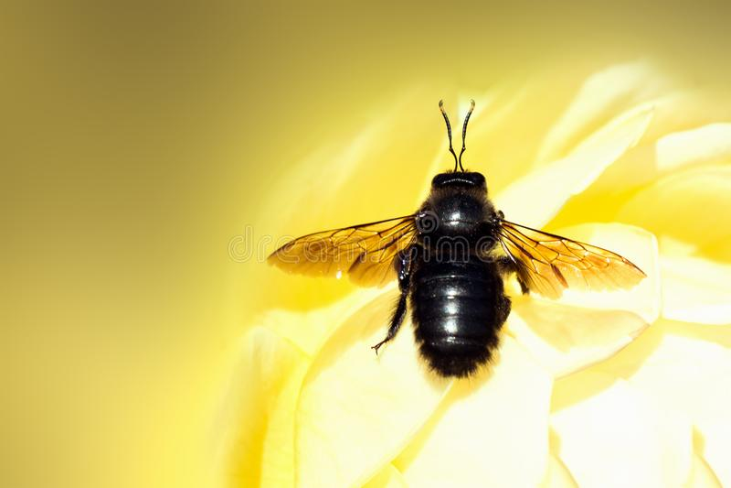 Black bug on yellow background royalty free stock photos