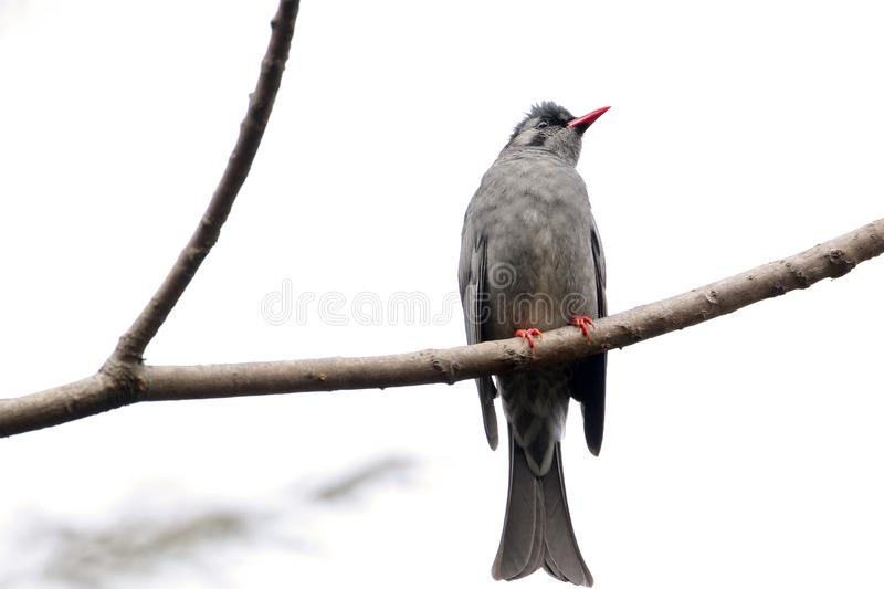 Black bulbul. The black bulbul, also known as the Himalayan black bulbul or Asian black bulbul, is a member of the bulbul family of passerine birds. It is found stock photo