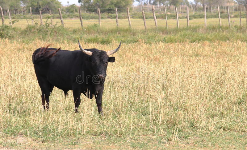 Black bull in the French Camargue royalty free stock photos