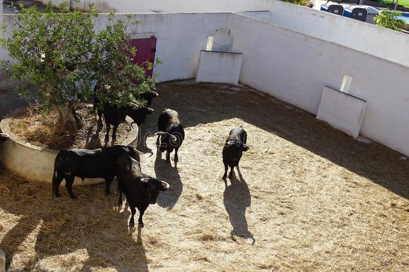 Black bulls in a bullring from Vinaros, Spain. Black bulls with straw on the floor in a bullring from Vinaros, Spain royalty free stock image