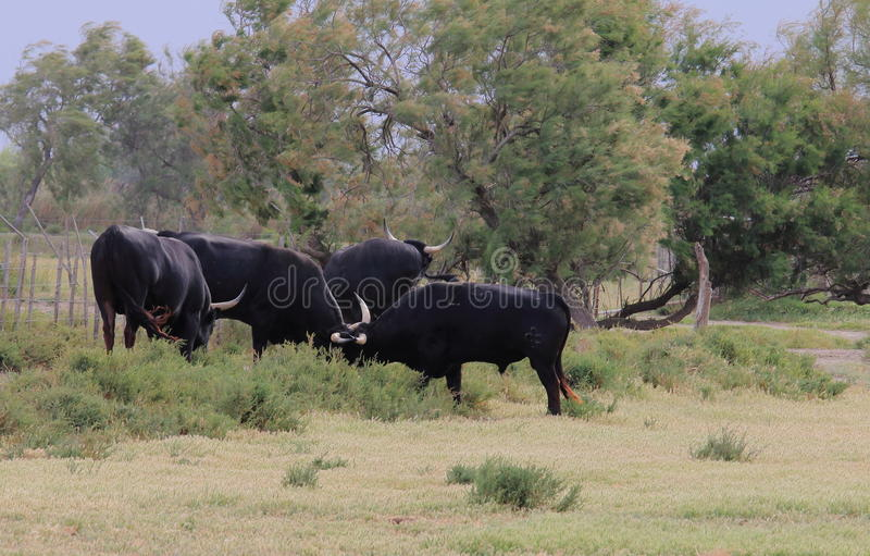 Black bulls in the French Camargue royalty free stock photos