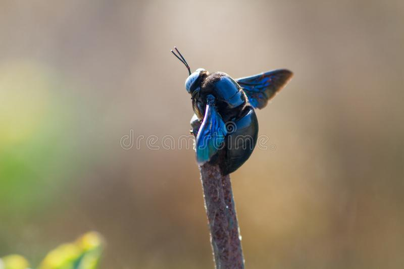 Black Bumblebee on a stick. In the jungles of central India stock photography