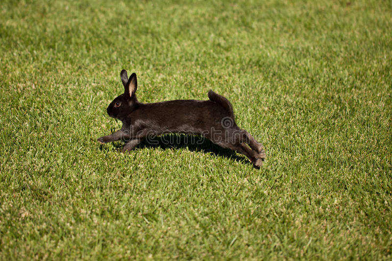 Black bunny rabbit. Hopping across a grassy field royalty free stock photos
