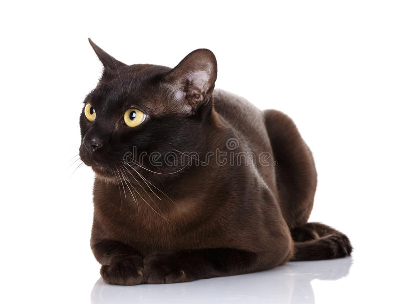 Black Burmese cat with yellow eyes lying on white background. Black Burmese cat with yellow eyes lying on a white background, portrait, close up , studio photo royalty free stock photo