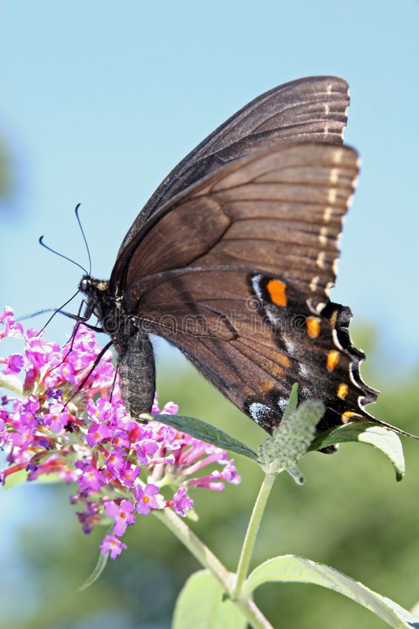 Free Black Butterfly Royalty Free Stock Photo - 1232775