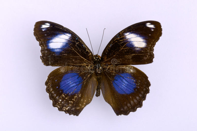 Download A Black Butterfly Stock Photo - Image: 12558090