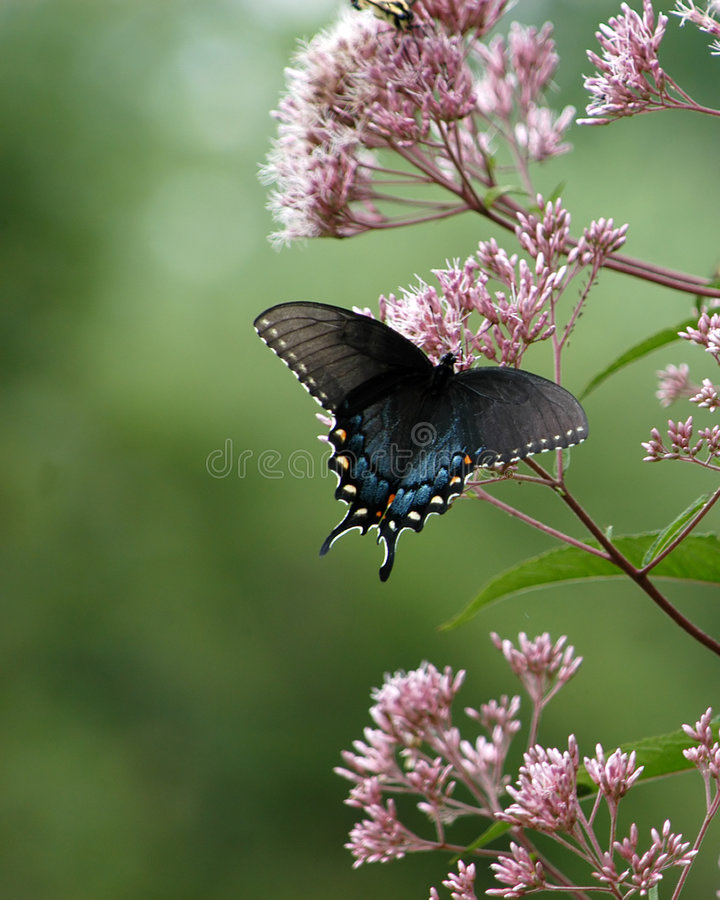 Black Butterfly royalty free stock images