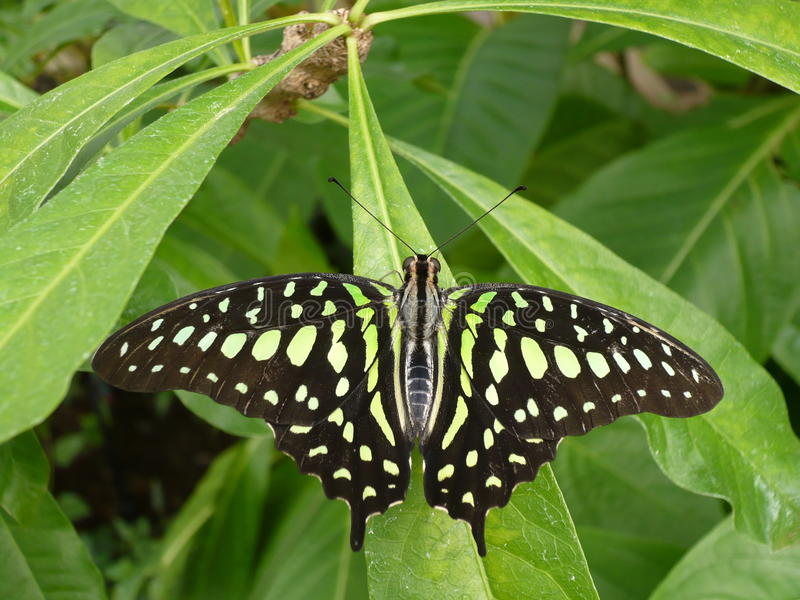 Download Black butterfly stock photo. Image of garden, green, animal - 26497534