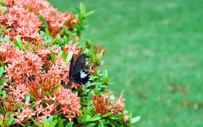 Black butterfly on beatiful exotic flowers stock photo
