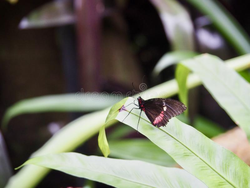 Black butterfly eating on a leaf. Black butterfly eating o a green leaf, dark background stock photo