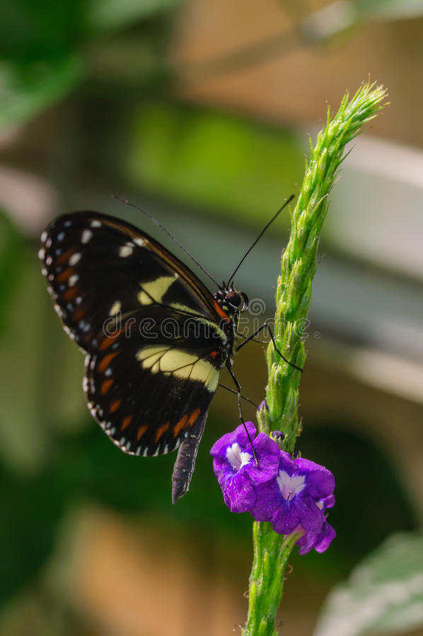 Black butterfly on green branch. And purple flowers royalty free stock images