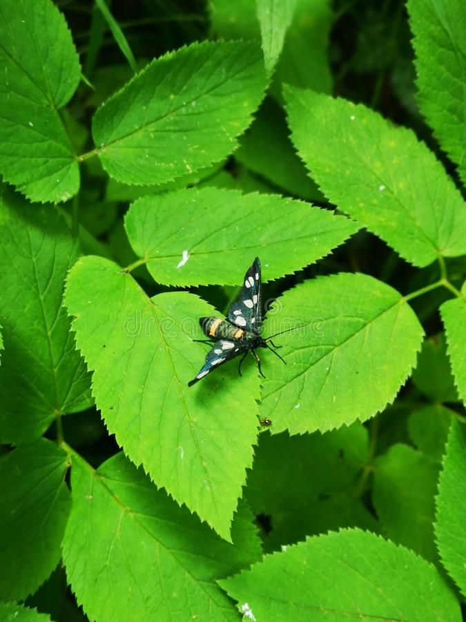 Black butterfly in the green bush. Black butterfly-moth in the green fresh bush royalty free stock photography