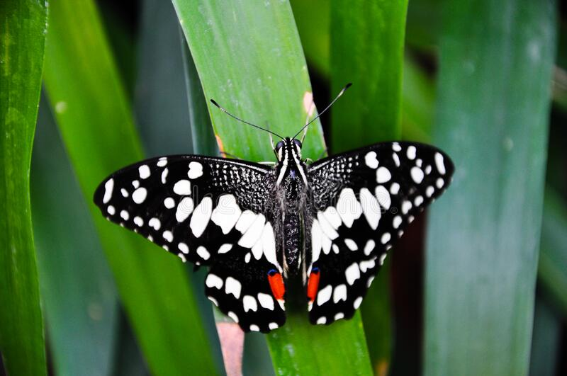 Black butterfly. On green leaf stock photos