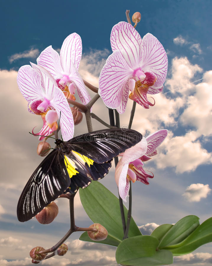 Download Black Butterfly On The Pink Orchid Stock Photo - Image: 27249856
