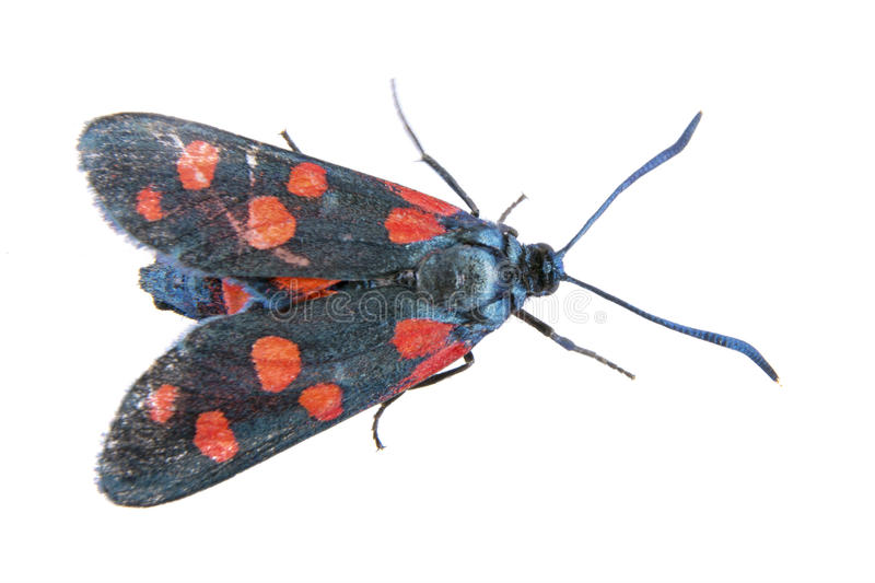 Black butterfly with red dots on the white background royalty free stock photography