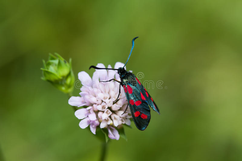 Black Butterfly with red spots. Six-spot burnet insect. Zygaena filipendulae macro view, soft focus, green background stock photography