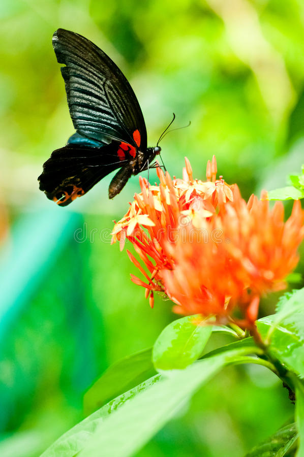 The Great Mormon butterfly on tropical flowers. The Great Mormon black butterfly, Papilio memnon, feeding on Ixora flowers through its proboscis royalty free stock photography