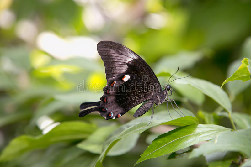 Black Butterfly with white dots on green leaf stock photos