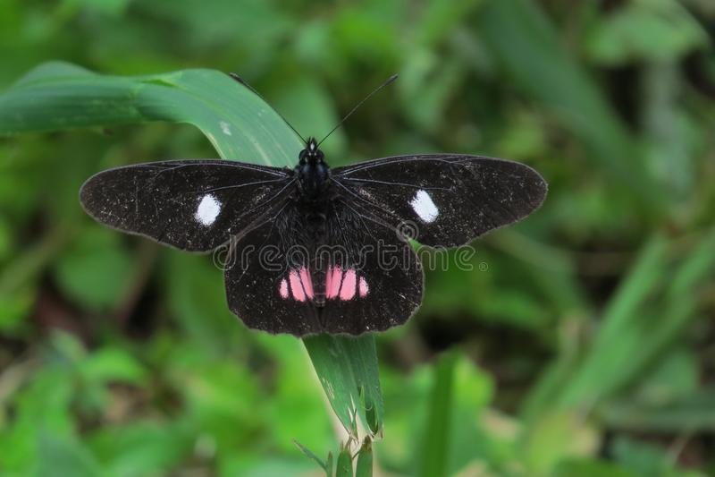 A Black Pink And White Butterfly. A black butterfly with white and pink spots on the leaf stock images