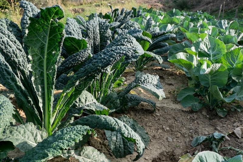 Bio Black cabbage in italian field royalty free stock photo