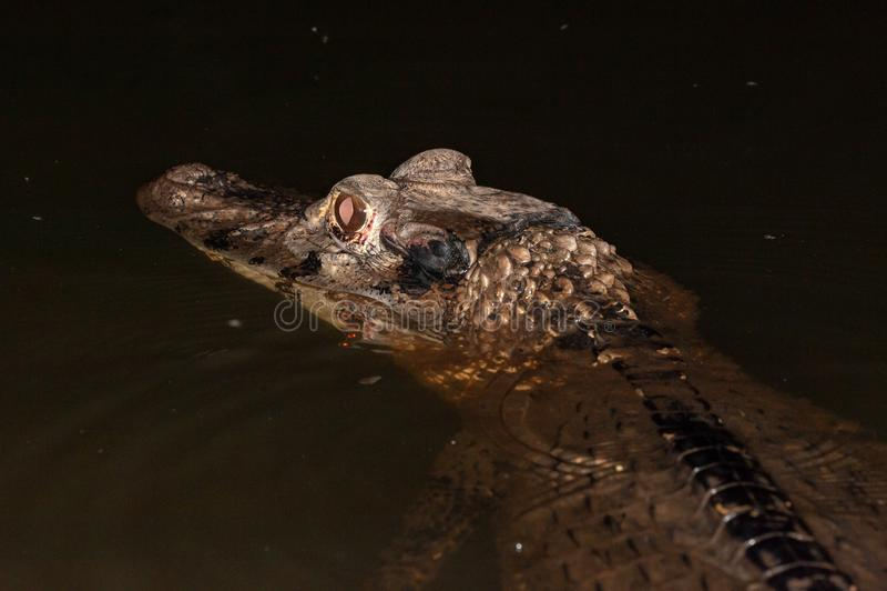Black caiman royalty free stock photography