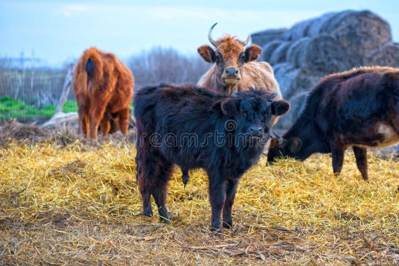 Black calf (meat breed) at farm royalty free stock photo