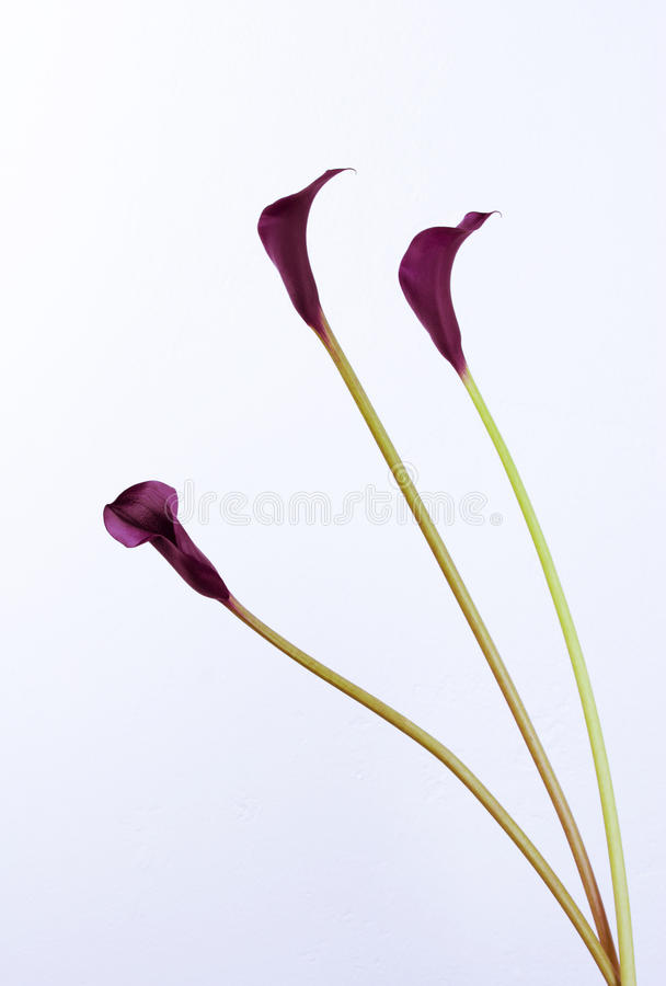 Download Black calla stock image. Image of lily, copy, isolated - 17876609