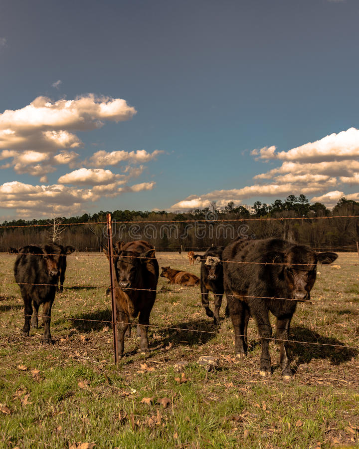 Black calves standing by barbed wire - vertical. Angus crossbred calves standing behind a barbed wire fence in vertical format stock photos
