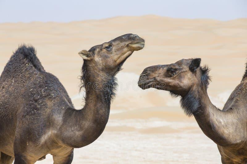 Black Camels in Liwa desert. Black Camels in a desert of Liwa in Abu Dhabi royalty free stock image