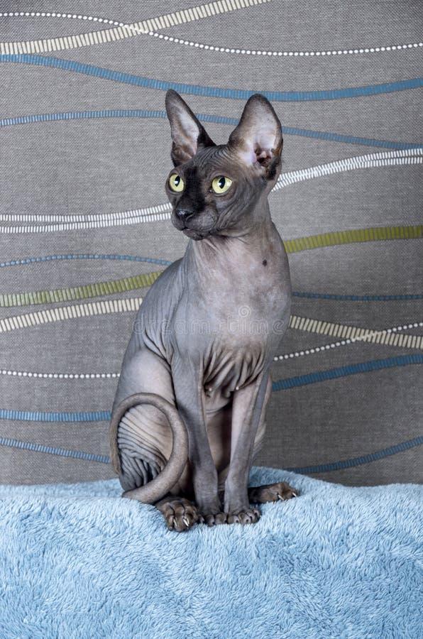 Black Canadian Sphynx Cat Stock Photo Image Of Sphynx 103967114