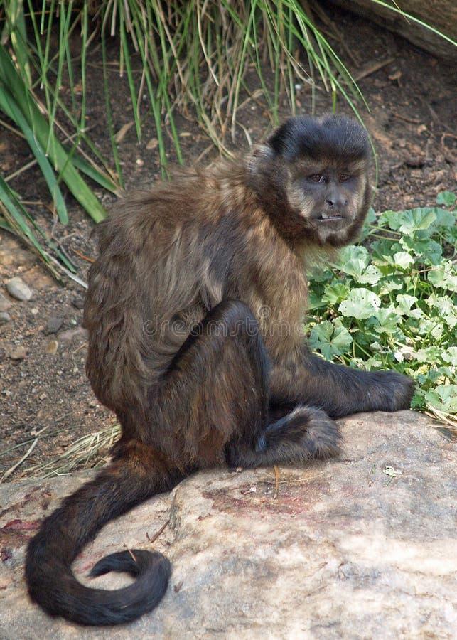 Black-Capped Capuchin. A Black-Capped Capuchin or Black Capped Capuchin, ( Cebus apella ), also known as Tufted Capuchin or Brown Capuchin looking very stock photos