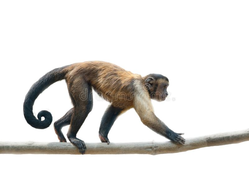Black-capped capuchin isolated. Black-capped capuchin walking along the branch. Isolated over a white stock photos