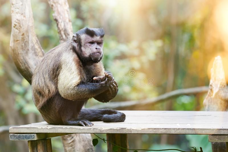 Black-capped Capuchins. Black-capped Capuchin or Cebus apella standing on tree, staring. Cebus apella is the monkey with a `black hat` on head. Chilong wildlife stock images