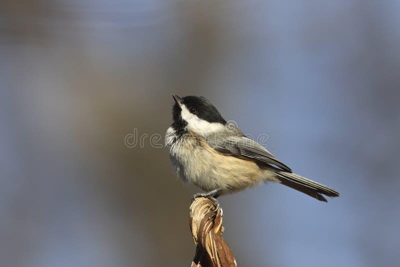 Download Black-capped Chickadee stock image. Image of beak, poecile - 12226183