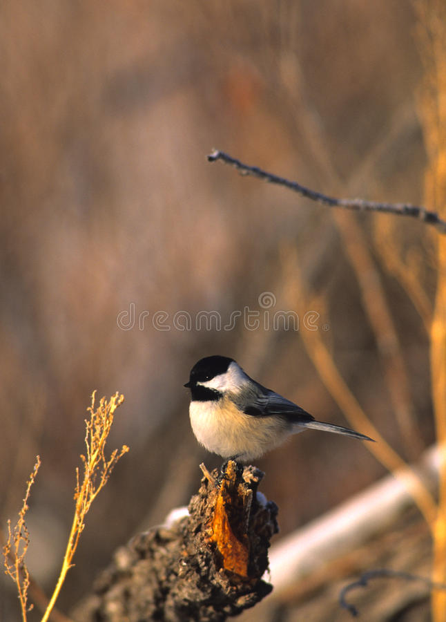 Download Black-capped Chickadee stock image. Image of nature, songbird - 13058919