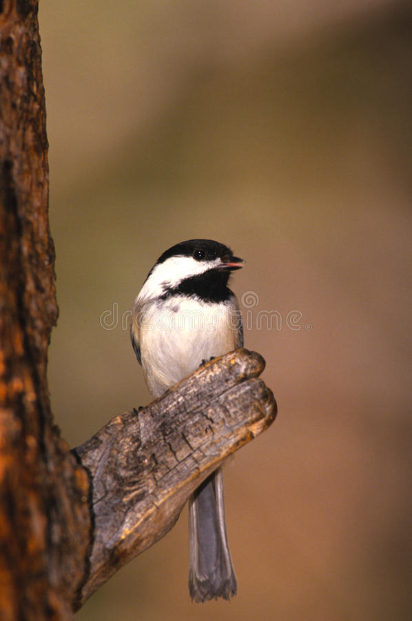 Download Black-capped Chickadee stock image. Image of capped, wild - 13059531