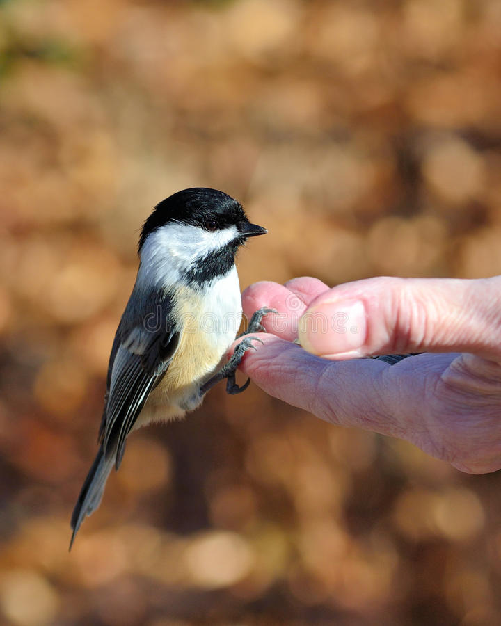 Black-capped Chickadee. A black-capped chickadee perched on a hand eating bird seed royalty free stock photo