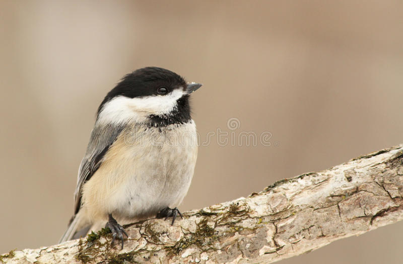 Download Black-capped Chickadee stock image. Image of seeds, chickadee - 18395257