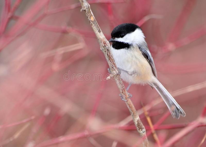 Download Black-capped Chickadee stock photo. Image of woods, avian - 23656648