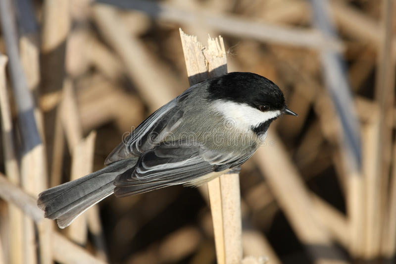 Download Black-capped Chickadee stock photo. Image of small, bird - 23744538