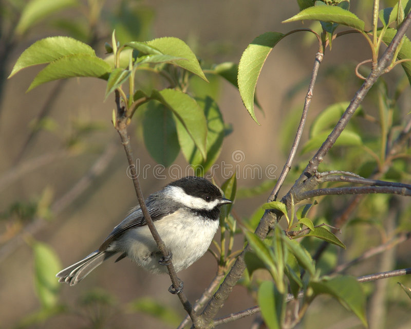 black capped chickadee arkivbild