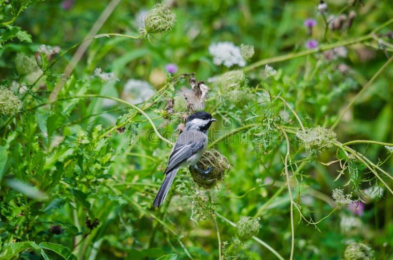 black capped chickadee arkivbild