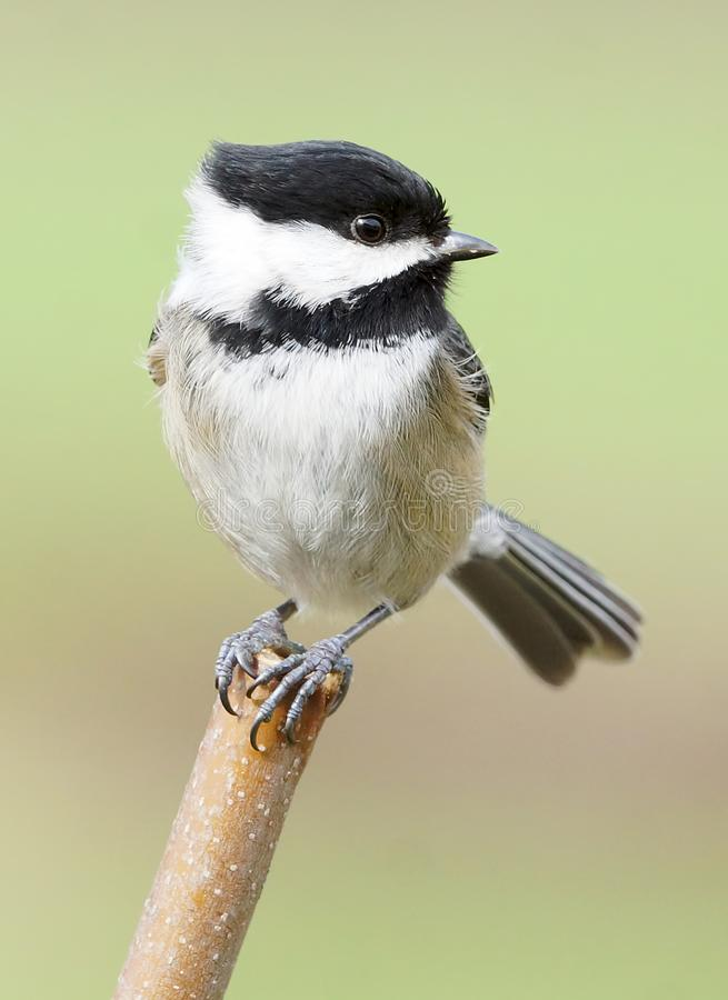 Black-Capped Chickadee Balancing Perched On A Stick On A Windy Day royalty free stock images